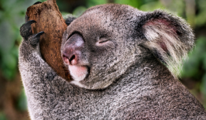 Koala hugging a tree